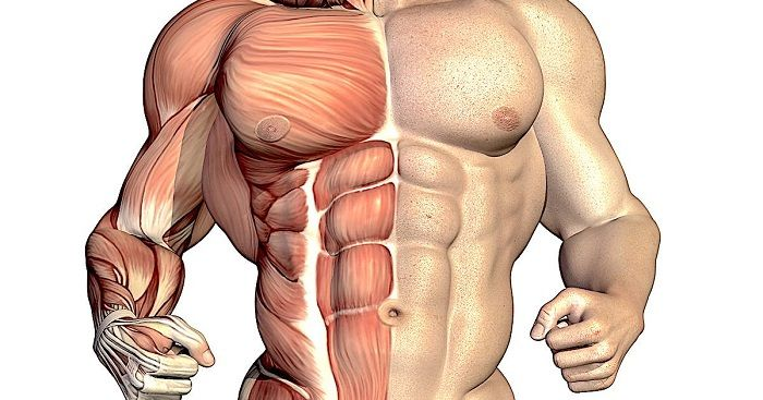 Hypertrophy: Deca-Durabolin increases muscle growth and anabolism
