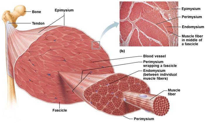Arm anatomy study help